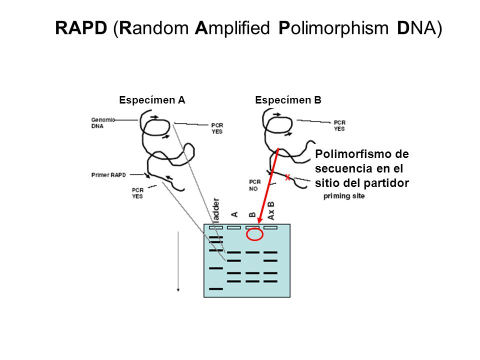 RAPD (Random Amplified Polimorphism DNA)