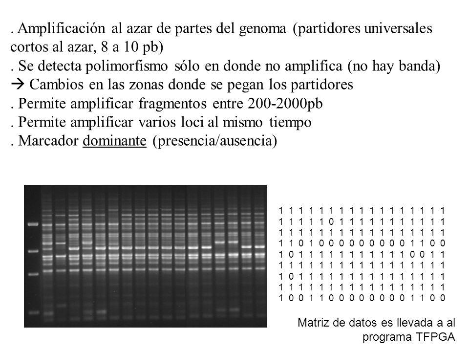 . Permite amplificar fragmentos entre 200-2000pb