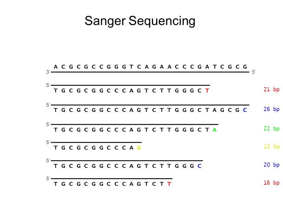 Sanger Sequencing A C G C G C C G G G T C A G A A C C C G A T C G C G