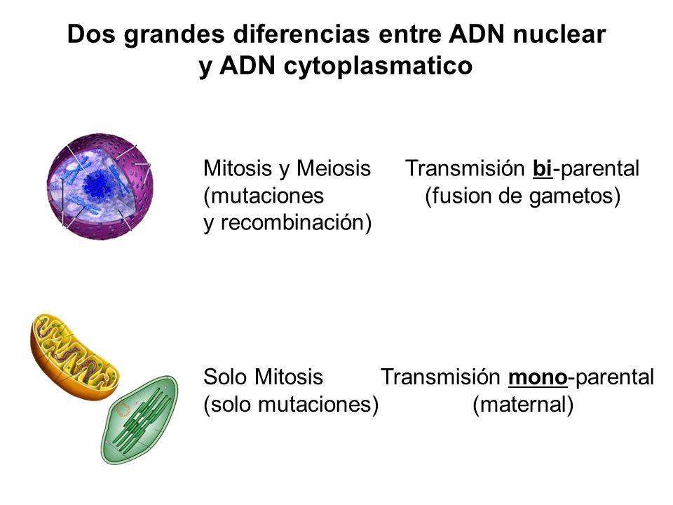 Dos grandes diferencias entre ADN nuclear y ADN cytoplasmatico