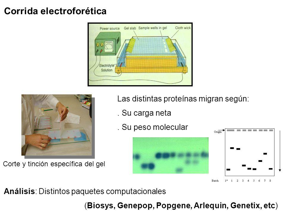 Corrida electroforética