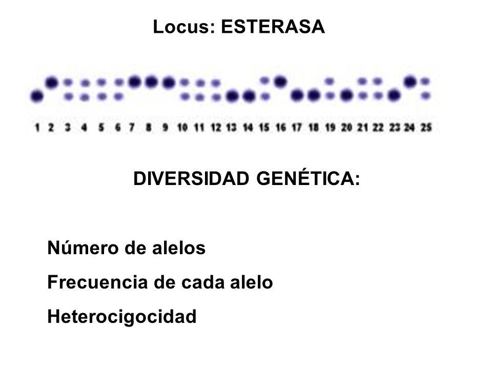Locus: ESTERASA DIVERSIDAD GENÉTICA: Número de alelos Frecuencia de cada alelo Heterocigocidad