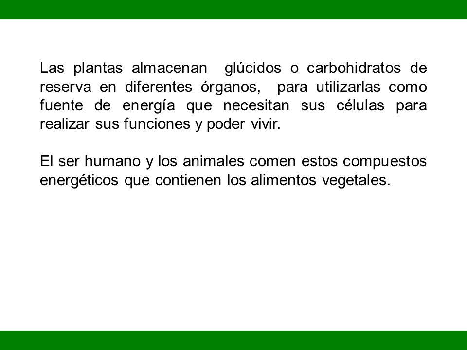Las plantas almacenan glúcidos o carbohidratos de reserva en diferentes órganos, para utilizarlas como fuente de energía que necesitan sus células para realizar sus funciones y poder vivir.