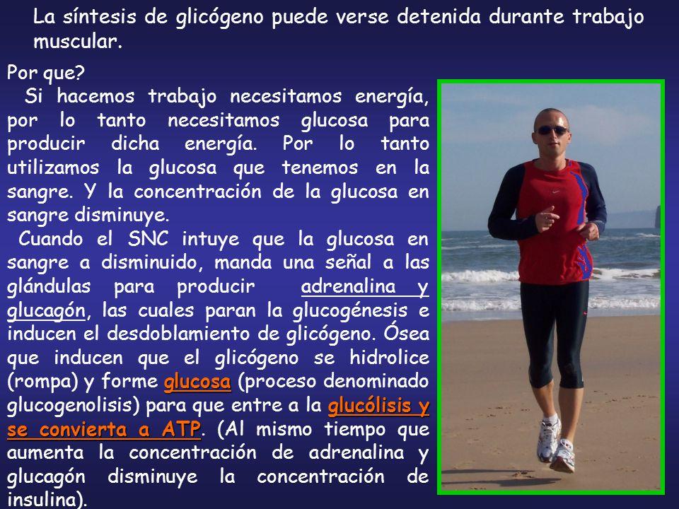 La síntesis de glicógeno puede verse detenida durante trabajo muscular.