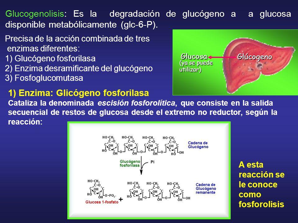 Glucogenolisis: Es la degradación de glucógeno a a glucosa disponible metabólicamente (glc-6-P).