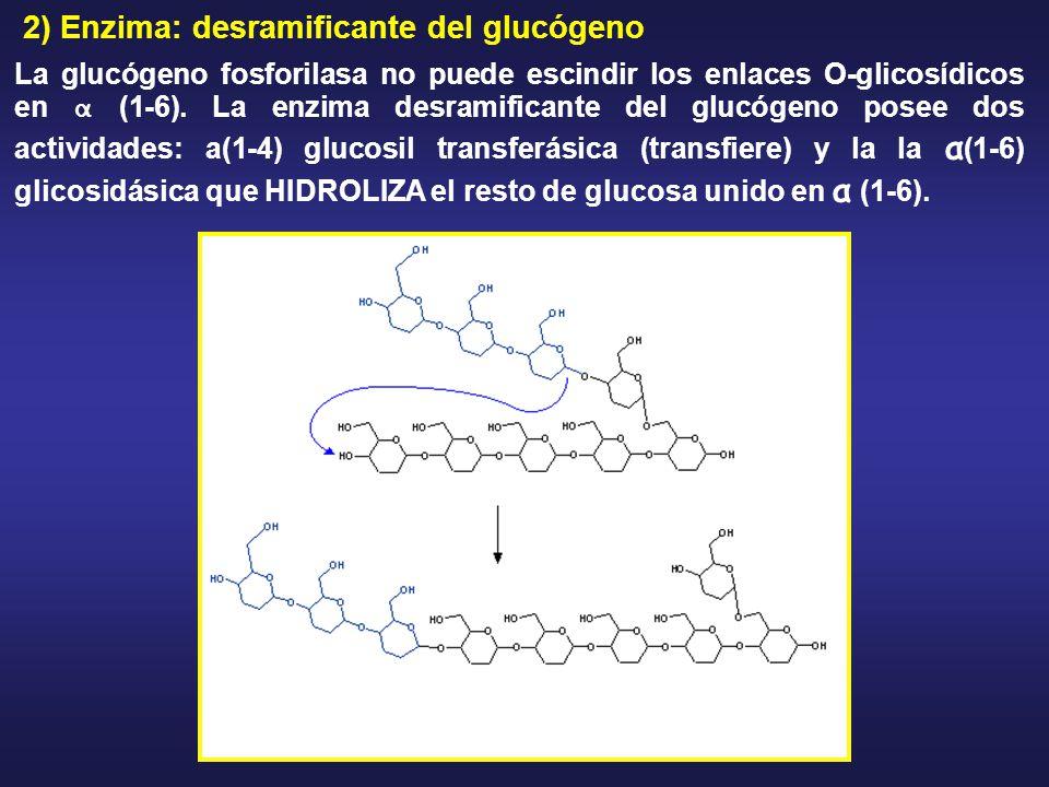 2) Enzima: desramificante del glucógeno