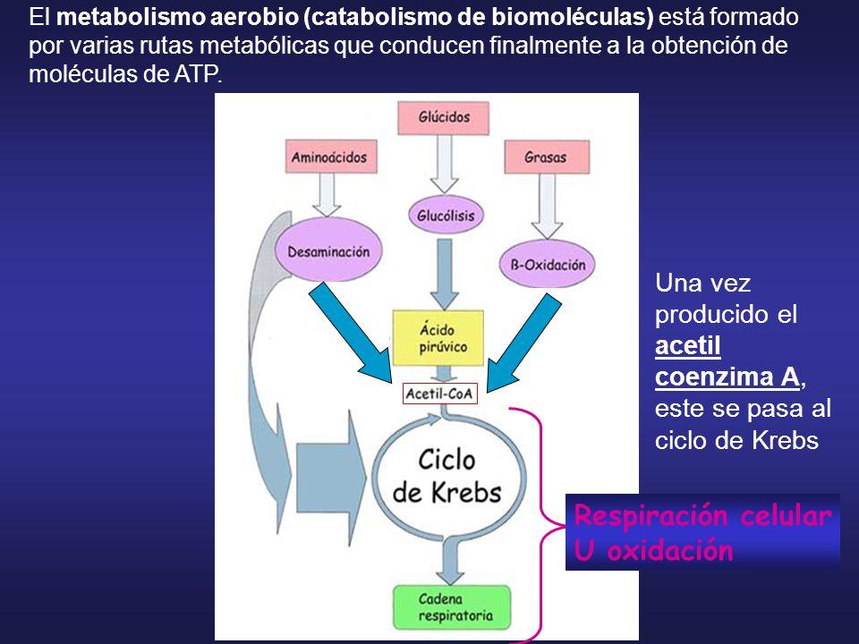 Respiración celular U oxidación