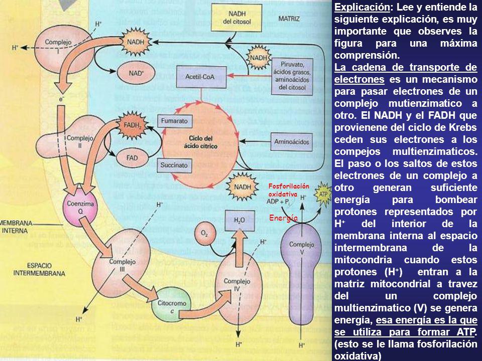 Fosforilación oxidativa. Energía.
