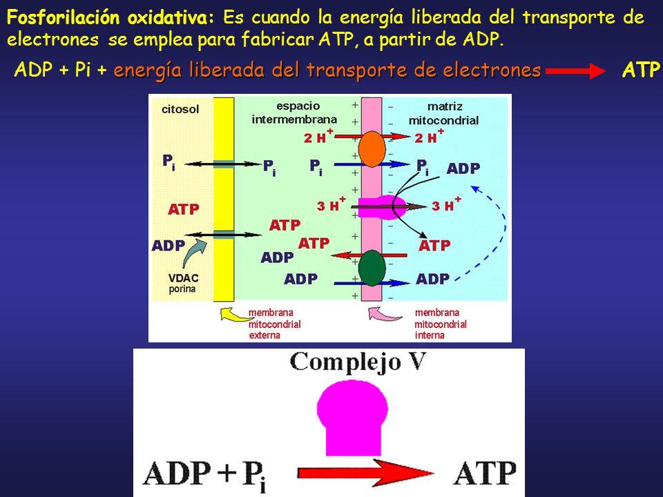 ADP + Pi + energía liberada del transporte de electrones ATP