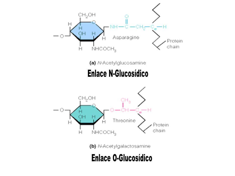 Enlace N-Glucosídico Enlace O-Glucosídico