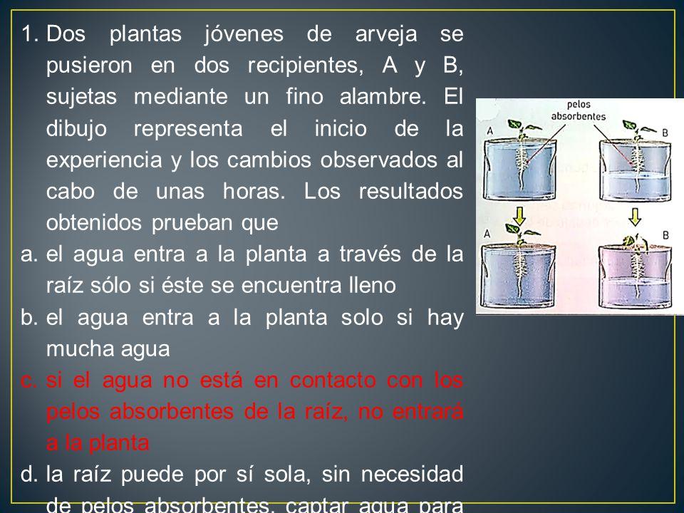 Dos plantas jóvenes de arveja se pusieron en dos recipientes, A y B, sujetas mediante un fino alambre. El dibujo representa el inicio de la experiencia y los cambios observados al cabo de unas horas. Los resultados obtenidos prueban que