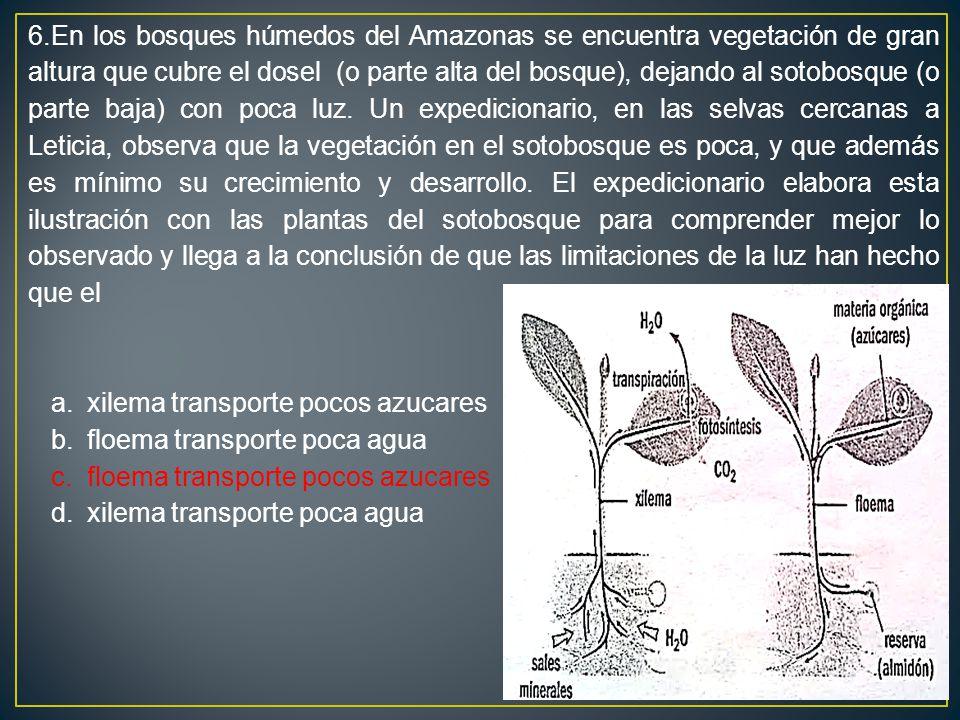 6.En los bosques húmedos del Amazonas se encuentra vegetación de gran altura que cubre el dosel (o parte alta del bosque), dejando al sotobosque (o parte baja) con poca luz. Un expedicionario, en las selvas cercanas a Leticia, observa que la vegetación en el sotobosque es poca, y que además es mínimo su crecimiento y desarrollo. El expedicionario elabora esta ilustración con las plantas del sotobosque para comprender mejor lo observado y llega a la conclusión de que las limitaciones de la luz han hecho que el