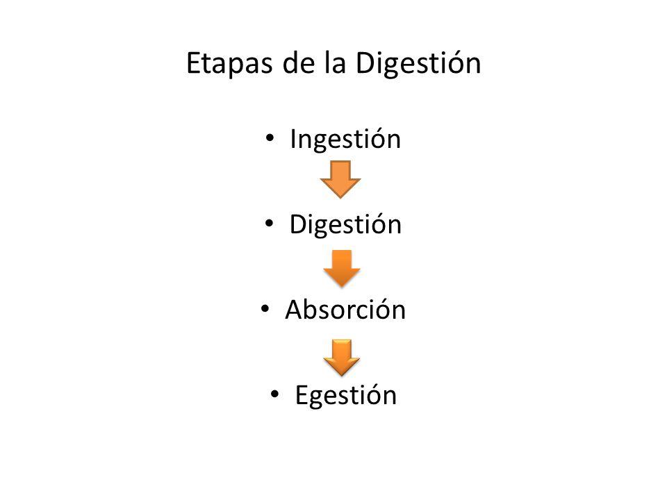 Etapas de la Digestión Ingestión Digestión Absorción Egestión