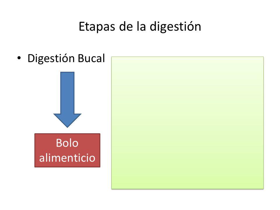 Etapas de la digestión Digestión Bucal Bolo alimenticio