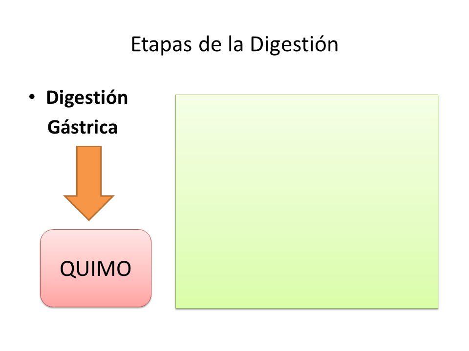 Etapas de la Digestión Digestión Gástrica QUIMO