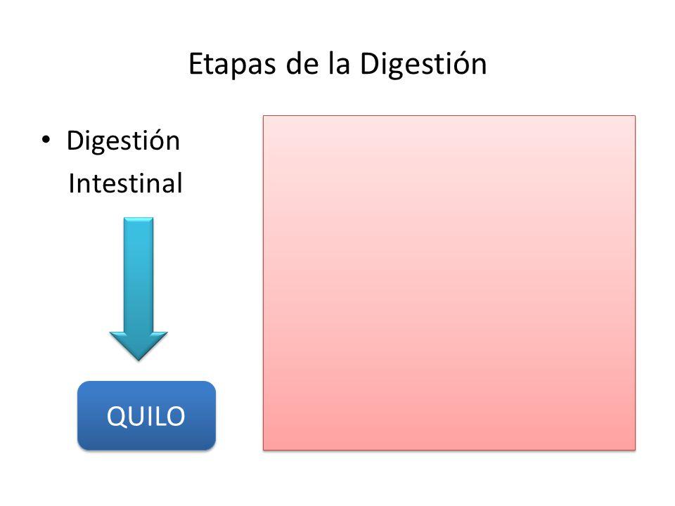 Etapas de la Digestión Digestión Intestinal QUILO