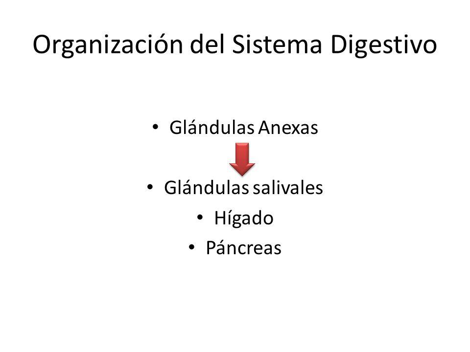 Organización del Sistema Digestivo