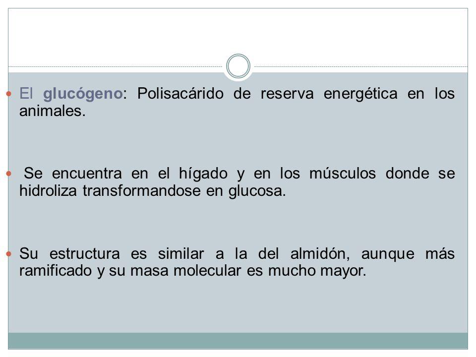 El glucógeno: Polisacárido de reserva energética en los animales.