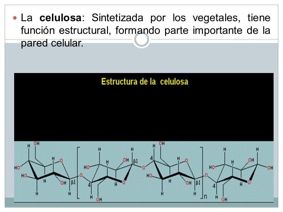 La celulosa: Sintetizada por los vegetales, tiene función estructural, formando parte importante de la pared celular.