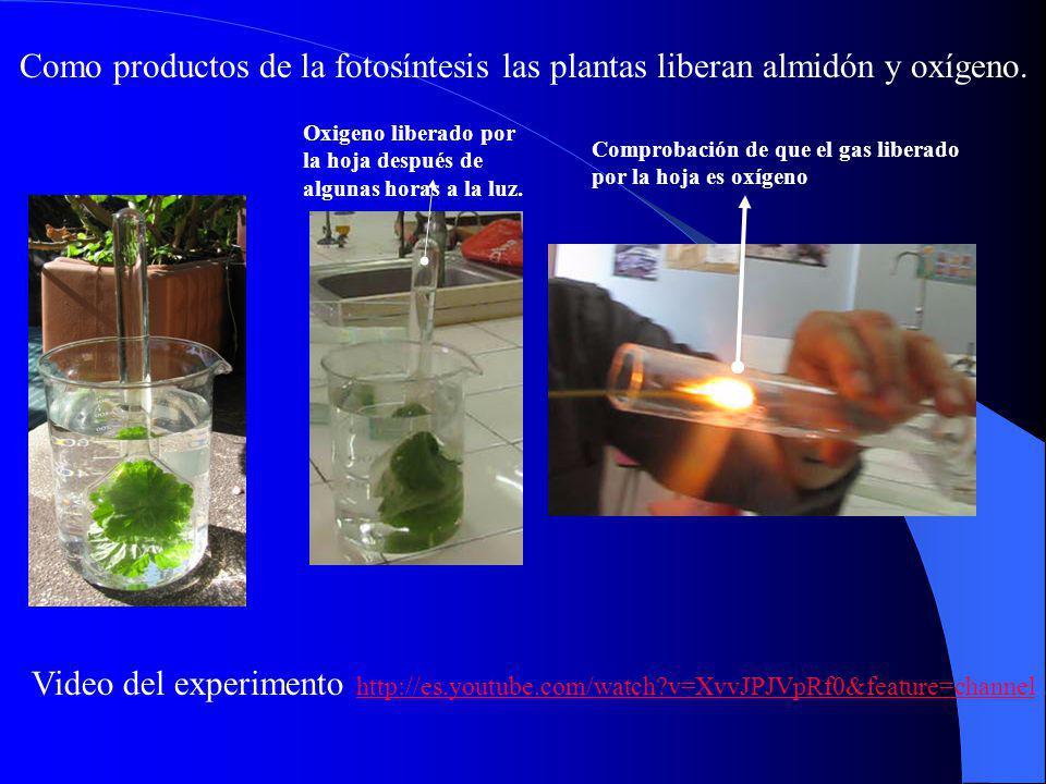 Como productos de la fotosíntesis las plantas liberan almidón y oxígeno.