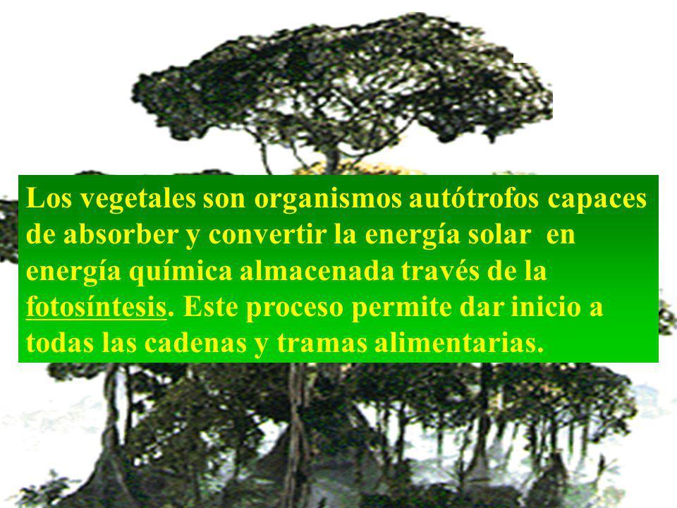 Los vegetales son organismos autótrofos capaces de absorber y convertir la energía solar en energía química almacenada través de la fotosíntesis.