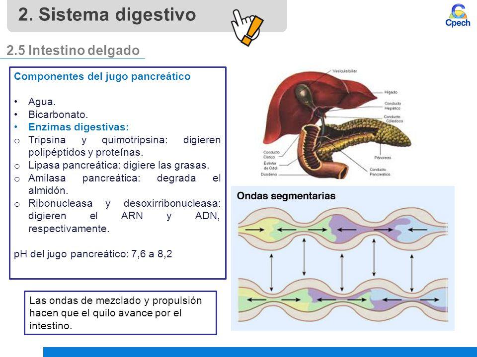 2. Sistema digestivo 2.5 Intestino delgado