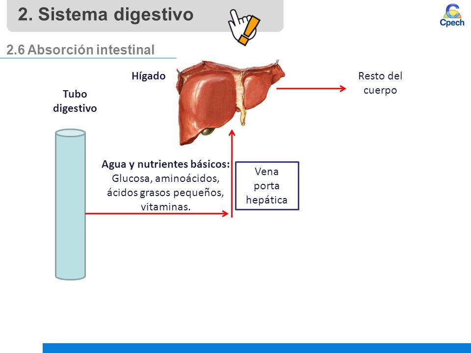 2. Sistema digestivo 2.6 Absorción intestinal Hígado Resto del cuerpo