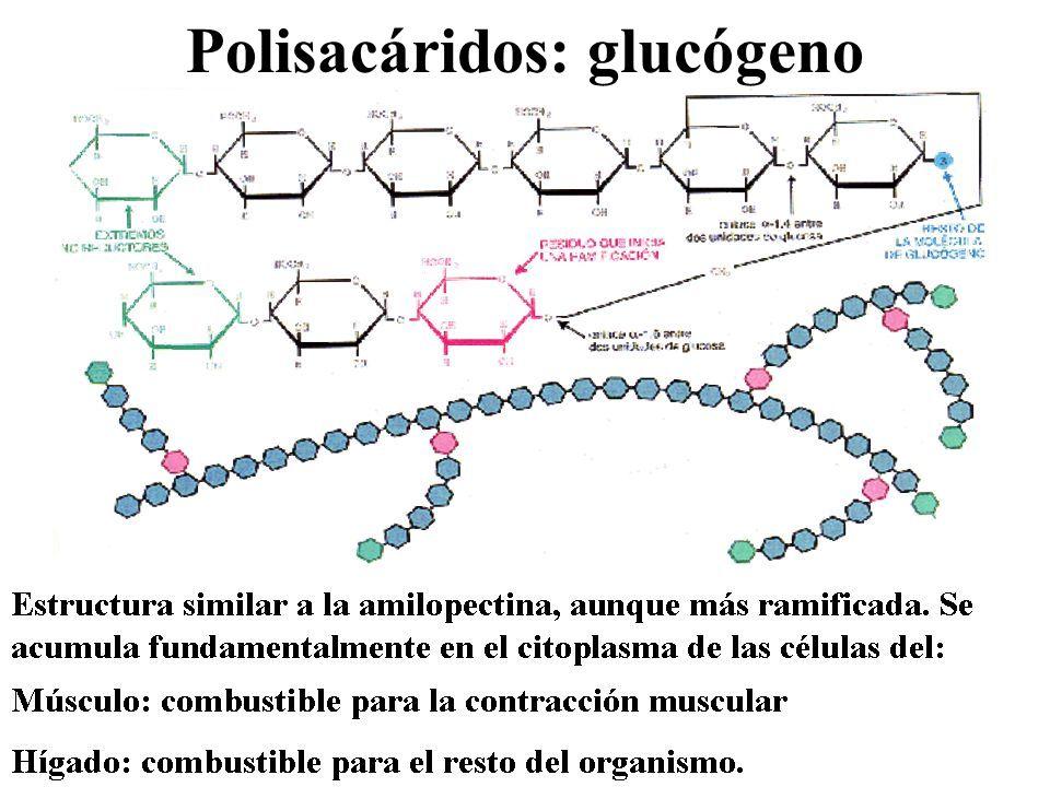 Polisacáridos: glucógeno