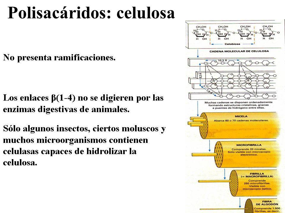 Polisacáridos: celulosa