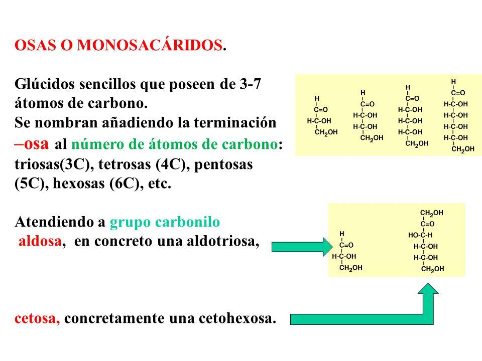 OSAS O MONOSACÁRIDOS. Glúcidos sencillos que poseen de 3-7 átomos de carbono. Se nombran añadiendo la terminación.