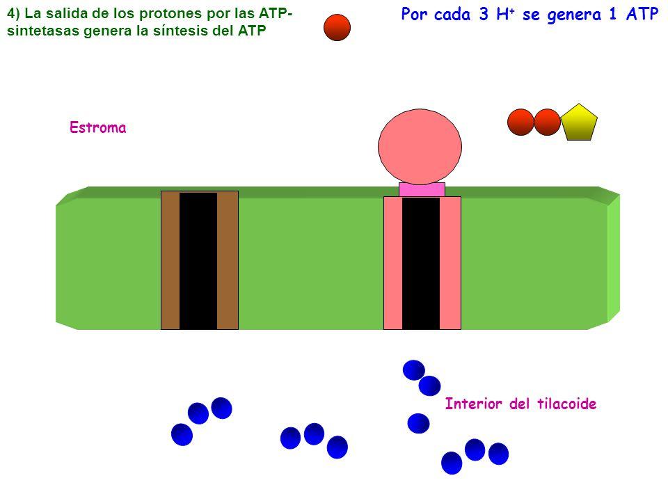 Por cada 3 H+ se genera 1 ATP