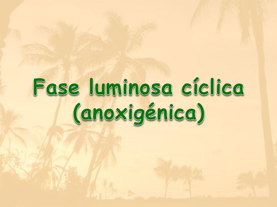 Fase luminosa cíclica (anoxigénica)