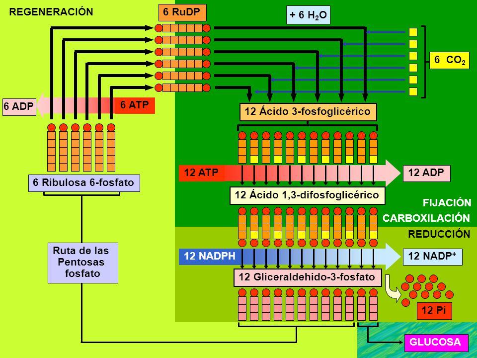 REGENERACIÓN 6 RuDP. + 6 H2O. 6 CO2. 6 ADP. 6 ATP. 12 Ácido 3-fosfoglicérico. 12 ATP. 12 ADP.