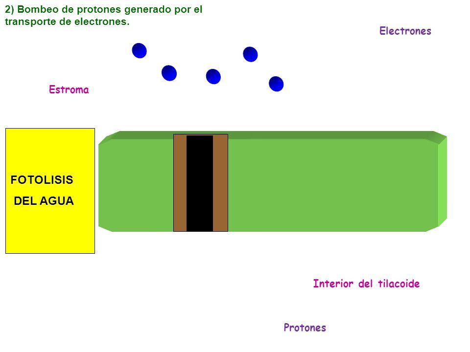 2) Bombeo de protones generado por el transporte de electrones.