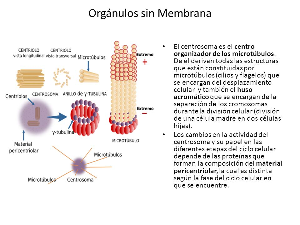 Orgánulos sin Membrana