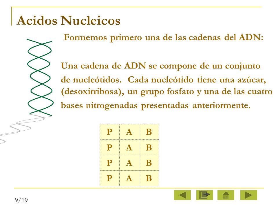 Acidos Nucleicos Formemos primero una de las cadenas del ADN: