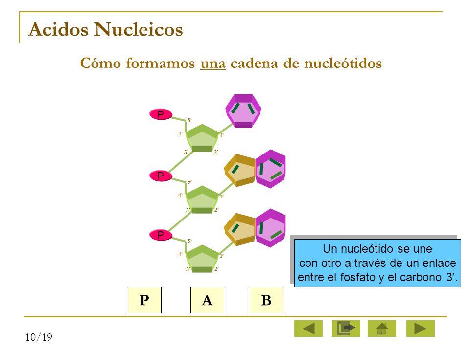 Cómo formamos una cadena de nucleótidos