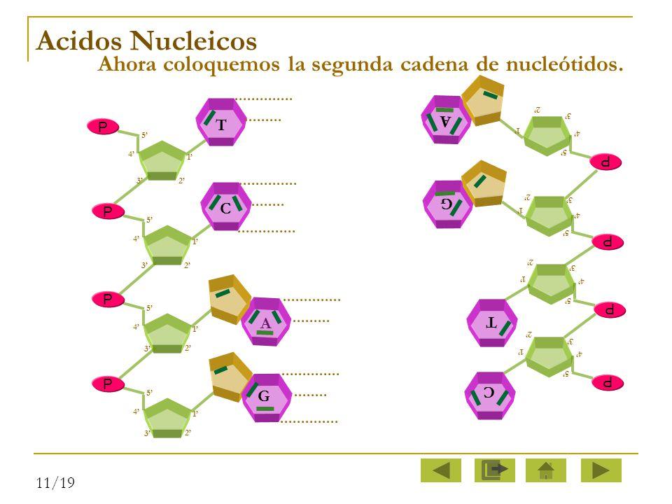 Ahora coloquemos la segunda cadena de nucleótidos.
