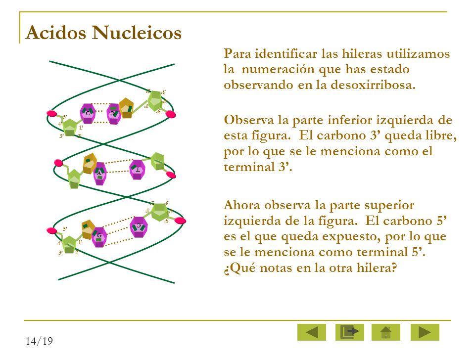 Acidos Nucleicos Para identificar las hileras utilizamos la numeración que has estado observando en la desoxirribosa.