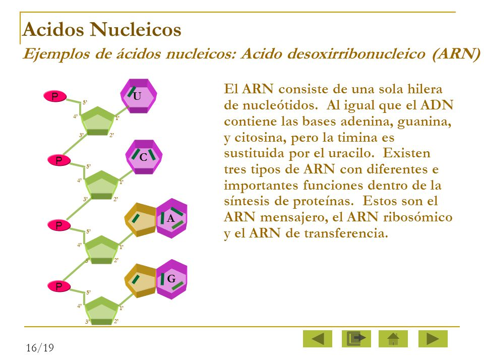 Acidos Nucleicos Ejemplos de ácidos nucleicos: Acido desoxirribonucleico (ARN)