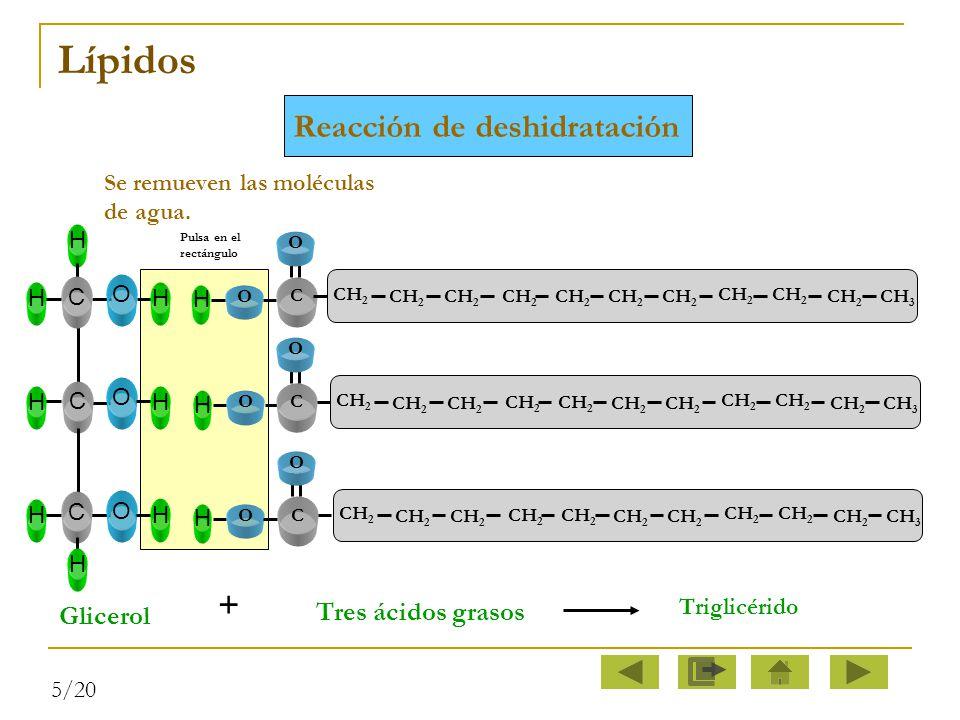 Lípidos Reacción de deshidratación + Tres ácidos grasos Glicerol