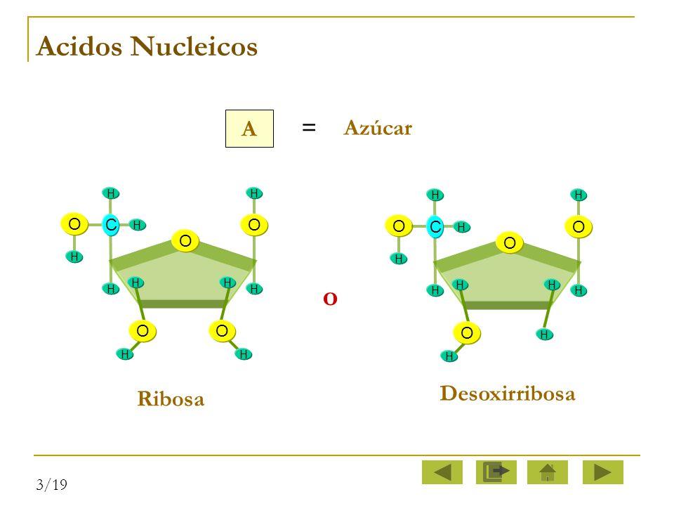 Acidos Nucleicos o A = Azúcar Desoxirribosa Ribosa O C O O C O O O O O