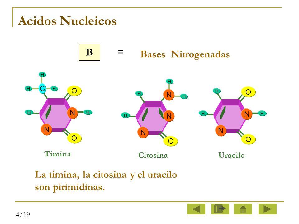Acidos Nucleicos B. = Bases Nitrogenadas. O. N. H. C. Timina. Citosina. N. O. H. O. N.