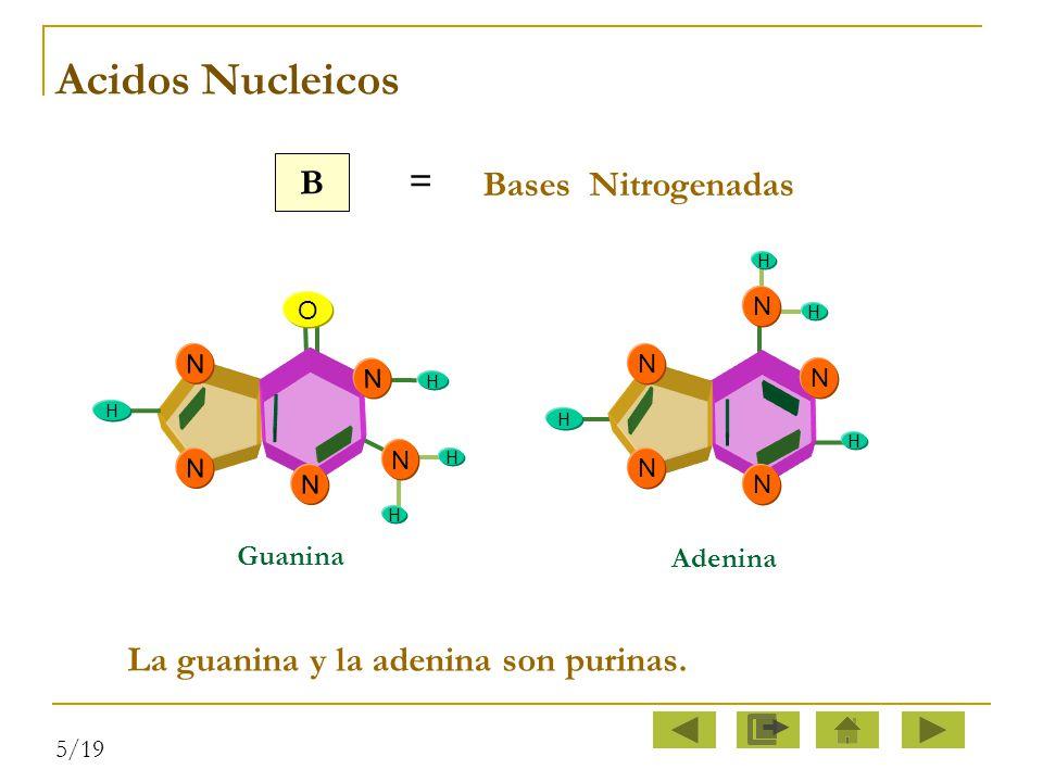 Acidos Nucleicos B = Bases Nitrogenadas