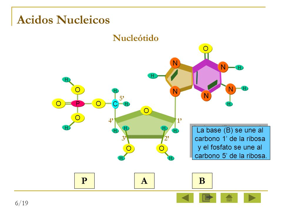 Acidos Nucleicos Nucleótido P A B N O O O C 1' 5' 4' 3' 2'