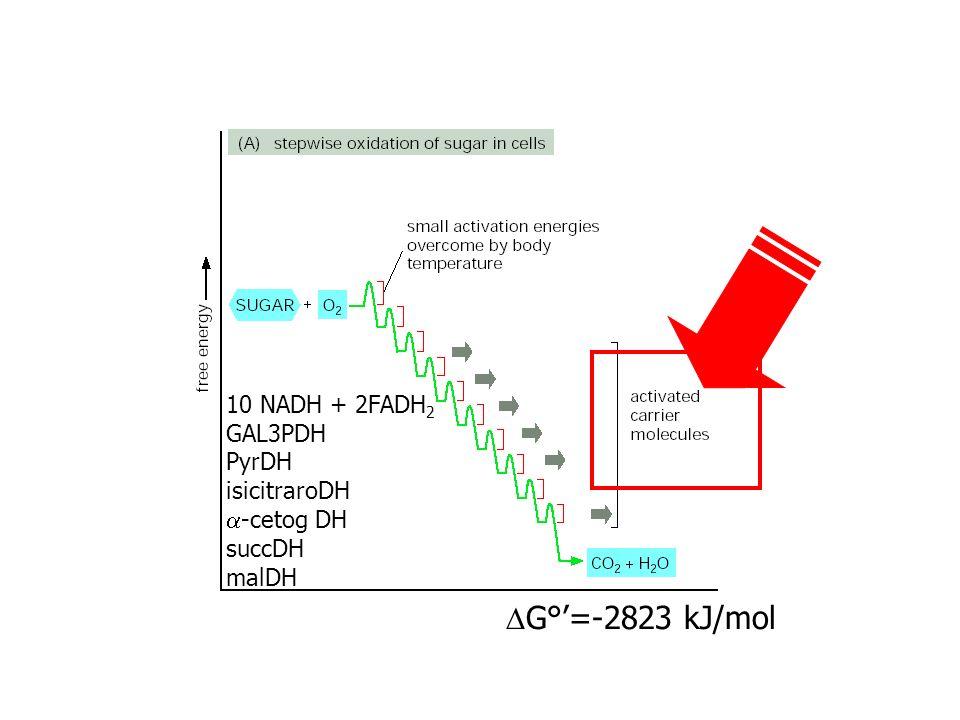 DG°'=-2823 kJ/mol 10 NADH + 2FADH2 GAL3PDH PyrDH isicitraroDH