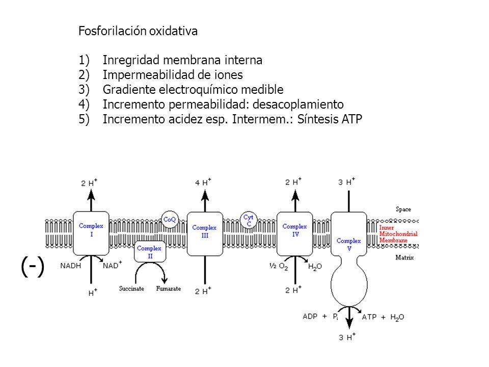 (-) Fosforilación oxidativa Inregridad membrana interna