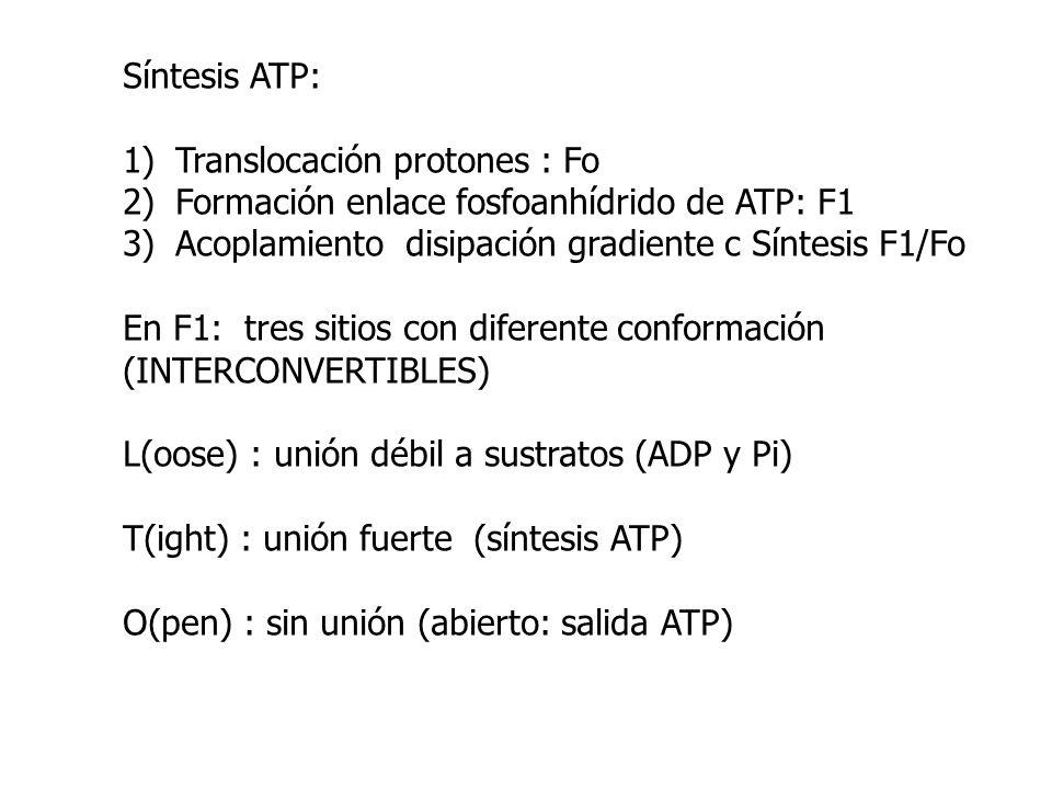 Síntesis ATP:Translocación protones : Fo. Formación enlace fosfoanhídrido de ATP: F1. Acoplamiento disipación gradiente c Síntesis F1/Fo.
