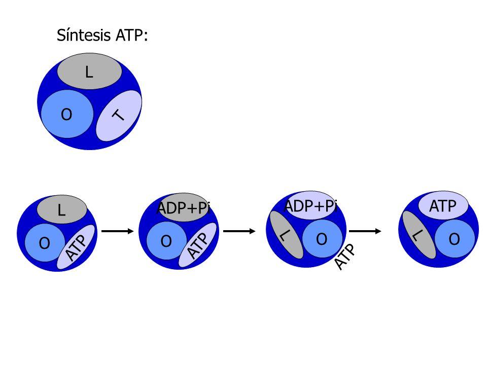 Síntesis ATP: L O T L O ATP ADP+Pi