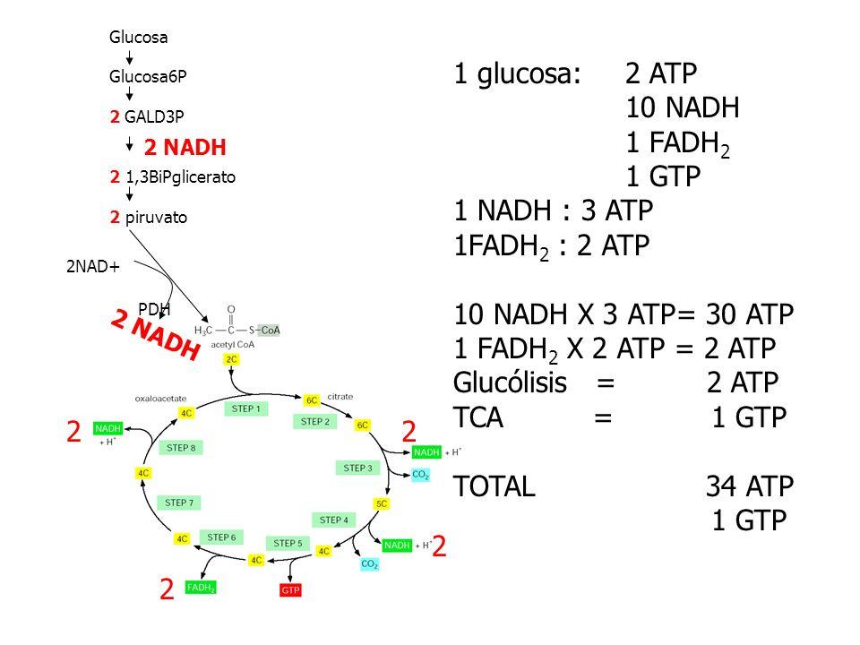 1 glucosa: 2 ATP 10 NADH 1 FADH2 1 GTP 1 NADH : 3 ATP 1FADH2 : 2 ATP